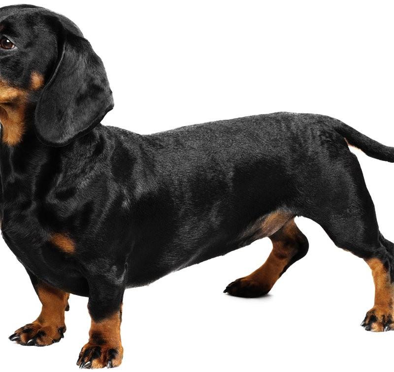 creste-dog-breed